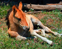 Baby Colt Mustang Wild Horse Stock Image