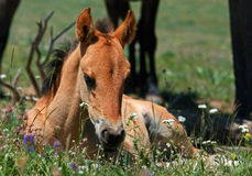 Baby Colt Mustang Wild Horse Royalty Free Stock Photo