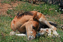 Baby Colt Mustang Wild Horse Royalty Free Stock Photos