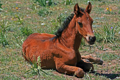 Baby Colt Mustang Wild Horse Stock Photography