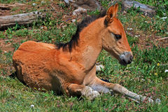 Baby Colt Mustang Wild Horse Stock Images