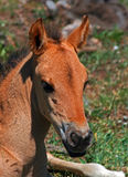 Baby Colt Mustang Wild Horse Royalty Free Stock Photography