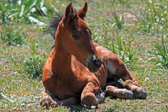 Baby-Colt-Mustang-wildes Pferd Lizenzfreies Stockfoto