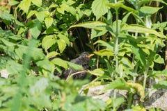 Baby common blackbird in a garden Stock Photo