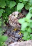 Baby common kestrel hiding on the ground. Among plants Stock Photos