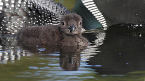 Baby Common Loon (Gavia immer) riding on mothers b. Closeup of Baby Common Loon (Gavia immer) next to its parent - Ontario, Canada Royalty Free Stock Photos