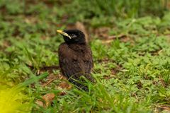 Baby common myna. Cute little baby common myna Royalty Free Stock Photos