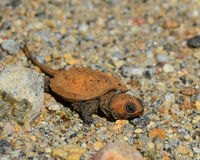 Baby common snapping turtle Royalty Free Stock Photo