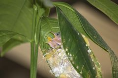 Baby Common Tailor bird Orthotomus sutorius in the nest on the tree stock photo