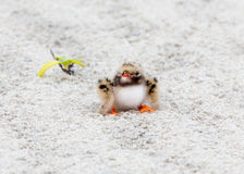 Baby Common tern close up in sand Royalty Free Stock Photos