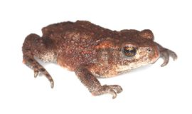 Baby Common toad (Bufo bufo) Stock Photo