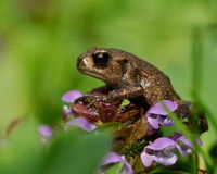 Baby common toad Bufo bufo  Stock Image