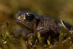 Baby common toad Bufo bufo. Bufonidae, small as a thumbnail, on green mos in macro stock photo