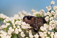 Baby common toad Bufo bufo. Bufonidae, small as a thumbnail, on white flowers in macro stock photography
