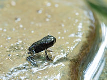 Baby common toad just leaving the water. Royalty Free Stock Photo