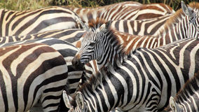 Baby common zebras surrounded by the herd Royalty Free Stock Photography