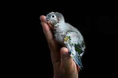 Baby Conure die in de eigenaar` s palm rusten Royalty-vrije Stock Afbeelding