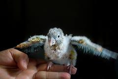 Baby Conure die leren te vliegen Royalty-vrije Stock Foto