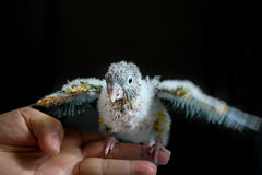 Baby Conure learning to fly Royalty Free Stock Photo