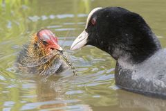 Coot feeding a dragonfly to a baby coot at Southampton Common royalty free stock images