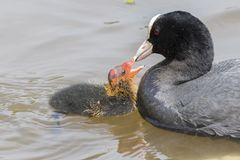 A baby coot being fed by its parent at  Southampton Common. A baby coot and its parent at Southampton Common Stock Photo