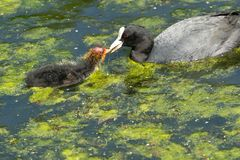 Young Fluffy Coot Being Fed By Parent. Adult Coot feeding one of it`s young Chicks on a lake at Roundhay Park,Leeds,West Yorkshire,England royalty free stock photo