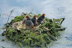 Baby Coot Chicks. Stock Photos