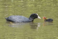 A baby coot being fed by its parent at  Southampton Common. A baby coot and its parent at Southampton Common Stock Photos