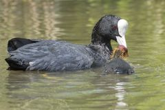 A baby coot with its parent on Southampton Common royalty free stock photography