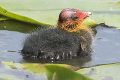 A baby coot in the lily pads at Southampton Common stock image