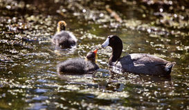 Baby Coot Waterhen Royalty Free Stock Photography