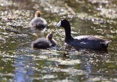 Baby Coot Waterhen Royalty Free Stock Photo