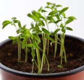 Baby coriander plant in a nursery Stock Photo