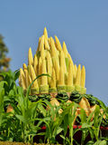 Baby corn. Royalty Free Stock Photography