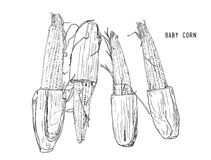 Baby corn hand drawn vector. Royalty Free Stock Image
