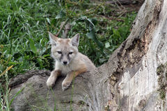 Baby corsac fox. Corsac fox baby chilling on a tree Stock Photography