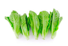 Baby Cos lettuce. Stock Photo