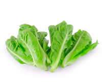 Baby Cos lettuce. Royalty Free Stock Photo