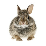 Baby cottontail bunny rabbit. Portrait of baby cottontail bunny rabbit isolated on white background Royalty Free Stock Photos