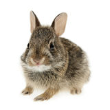 Baby cottontail bunny rabbit royalty free stock photo