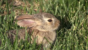 Baby Cottontail Close Up stock footage