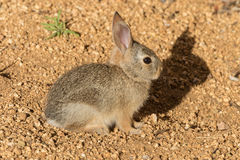 Baby Cottontail Stock Image
