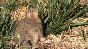 Baby Cottontail stock video