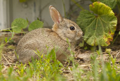 Baby Cottontail Eating Grass Stock Images