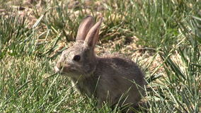 Baby Cottontail Eating Grass stock footage