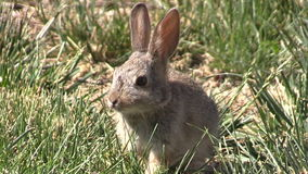 Baby Cottontail Eating Grass stock video footage