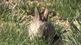 Baby Cottontail  Eating stock video