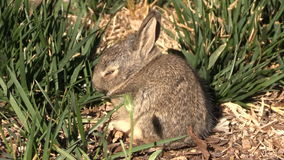 Baby Cottontail in Grass stock video footage