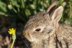 Baby Cottontail Portrait Stock Images