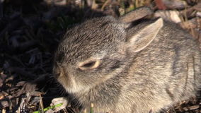 Baby Cottontail Rabbit Close Up stock video footage